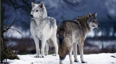 Image result for wolves in north america