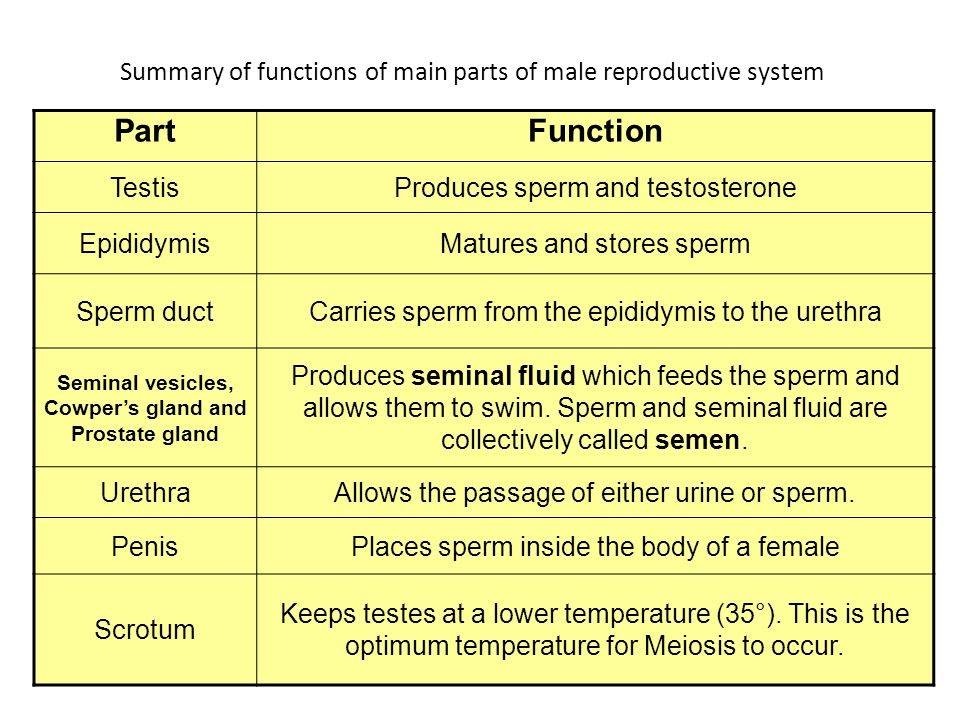 summary of fuctions of main parts of Male Reproductive System