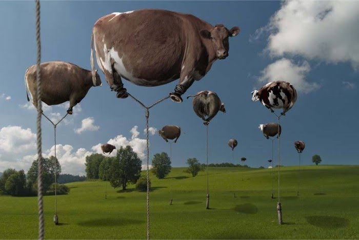 digital photography of farm pasture with giant inflated floating cows tied down with rope by chris bennett