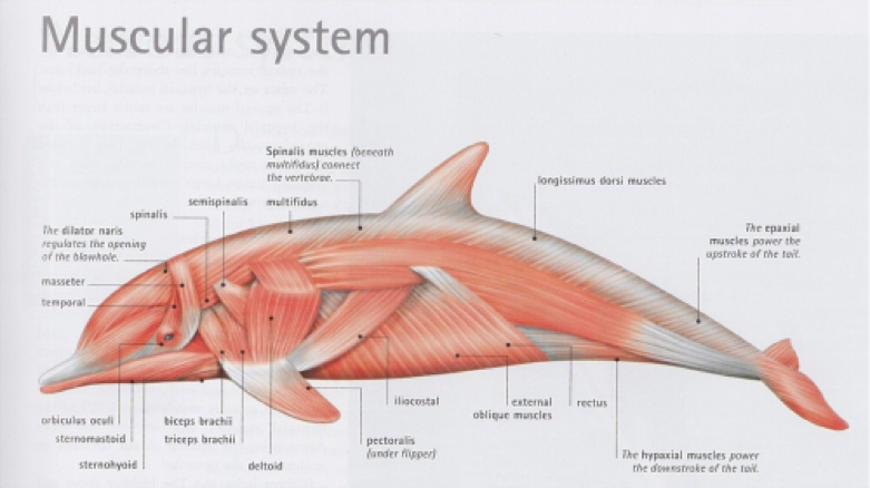 Muscular System Orcas