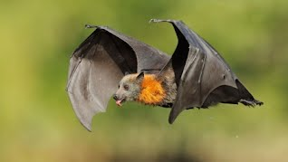 Nutrition Scientists Have Had A Much Easier Job Identifying What Foods Fruit Bats Prefer To Eat Hence The Name Bat Usually Live Near Tropical