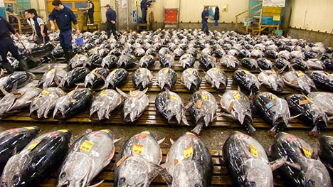 What is happening to the pacific bluefin tuna for Pacific fish market