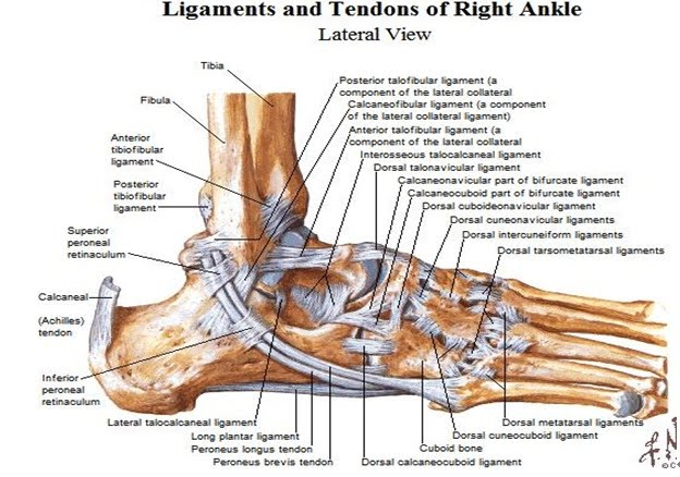 Anatomy Of Ankle Iron Thumb