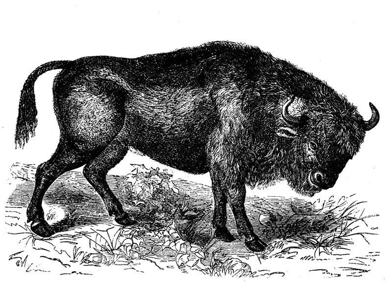 Herd Animal Bison Pathfinder Ogc