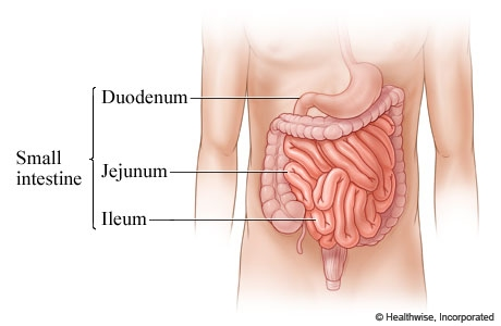 Digestive System - Physiology and Pathophysiology of the Human Body