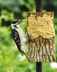 Woodpecker on bark butter
