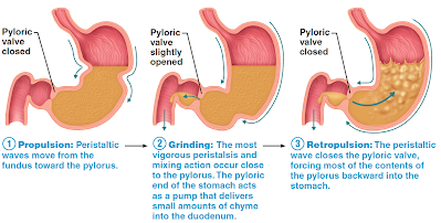 a peristaltic wave travels from the esophagus into the fundus (top segment  of stomach) and onto the pylorus  the relaxation and contraction of muscles  form