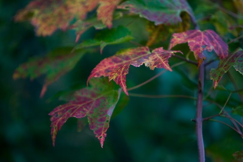 fall maple leaves phil philip bowen photo photographer