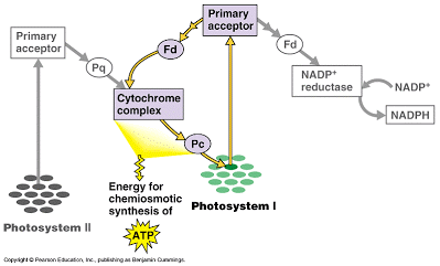 Photosynthesis and the Electron Transport Chain   Ask A Biologist