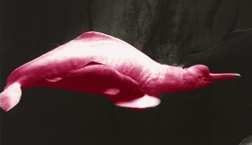 when the calf is 3 it would have to be able to survive on its own the pink dolphin usually lives up to 30 years old