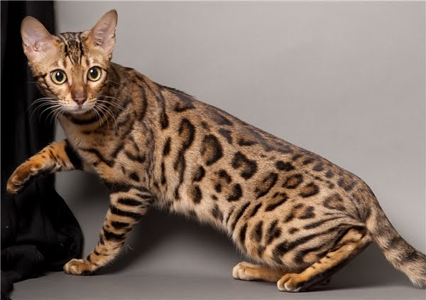 Top 5 Most Expensive Cat Breeds In The World Place For Cat Lovers