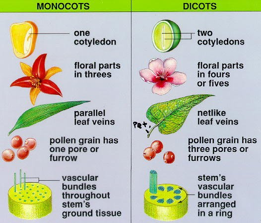 Plant Site Map Examples: Monocot And Dicot Plants