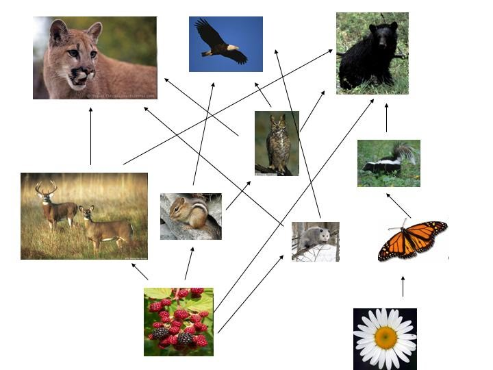 Temperate deciduous forest food web