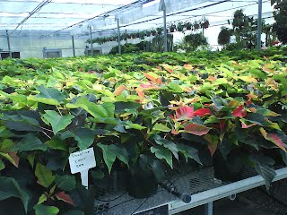 Poinsettia Faq Poinsettia Info
