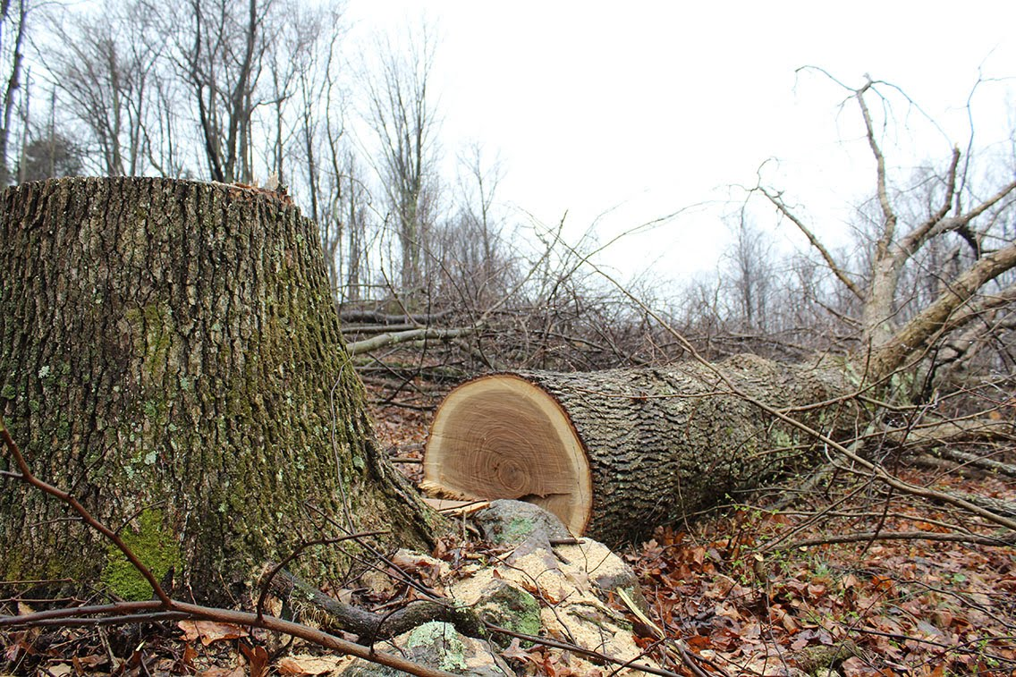 Downed tree for pipeline.