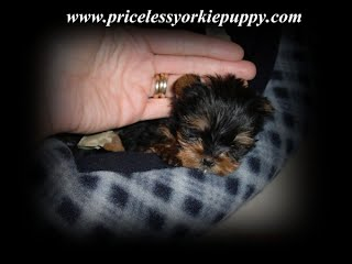 yorkie growth chart, yorkie size chart, yorkie puppies for sale in michigan, yorkie weight chart, puppy weight chart, puppy growth chart, puppy size chart, yorkie puppies full grown, yorkie puppy full grown, yorkshire terrier growth chart, Yorkshire Terrier Growth Chart, Yorkie Growth Chart,