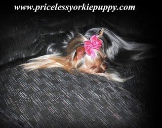 Why Are Yorkies So Expensive - Priceless Yorkie Puppy