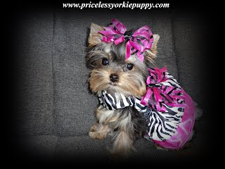 teacup yorkie puppies for sale, teacup yorkies,  cheap teacup yorkie puppies for sale, teacup Yorkshires,  teacup yorkie puppies for sale in michigan, teacup puppies, teacup yorkie for sale in michigan, teacup yorkie puppies for adoption