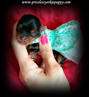 Nursery Yorkie Puppies For Sale