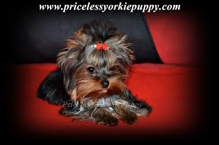 Shakira Teacup Yorkie Puppy Michigan Yorkshire Breeder