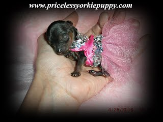 Michigan Yorkie Breeder, Michigan Teacup Yorkies, Teacup Puppies, Babydoll Yorkies, Michigan Teacup puppy