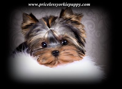 "Michigan Teacup Yorkshire Terrier Puppy Breeder With Tiny Teacup Yorkie Puppies For Sale in Michigan. Exceptional Quality Is Not Expensive,It's Priceless. Michigan Yorkie Breeder with Baby Doll Teacup Yorkie Puppies For Sale. Tanisha Breton, 517-796-0259, Michigan Yorkie puppies, Michigan Yorkie Breeder, Teacup Yorkie Puppies for Sale, Yorkie Weight Chart,Teacup, Yorkie Puppy, Yorkshire Terrier,puppy, Michigan Breeder,Yorkies for sale,Teacup Yorkie,Teacup Yorkshire,Michigan Yorkie Breeder,Michigan Yorkshire Breeder Michigan Yorkies,Michigan Yorkie Puppies,Michigan Yorkshire Puppies,Teacup Yorkie Puppies,Teacup Yorkies,Teacup Yorkie,Teacup Puppies,Teacup puppy,Michigan Yorkie, Michigan, MI, Yorkshire Terriers, Yorkshire terrier puppies, Yorkshire dog, Champion Yorkshire Terrier puppies, Yorkies for Sale Michigan, Teacup Yorkies for Sale, Teacup Yorkie for Sale Michigan, Yorkies for Sale, Yorkies, Michigan Yorkies, Yorkie breeder, Quality Yorkies, Yorkie Puppies,Yorkie puppies for sale, Yorkshire Terrier Breeder, yorkie breeders, Yorkshire Breeders, Yorkshire Terriers for sale in Michigan, MI, Yorkie breeder, Yorkie puppies, Puppies for sale, puppies  for sale in Michigan, puppies Jackson,MI, Tanisha Breton, 517-796-0259, 517-945-3291, Michigan, MI, Yorkshire Terriers , Yorkshire terrier puppies, Yorkshire dog, Dog, AKC, Champion Yorkshire Terrier puppies,  Michigan Yorkies, Michigan Yorkie, Yorkies for Sale Michigan, Teacup Yorkies for Sale Michigan Teacup Yorkies for Sale Michigan, Teacup Yorkie, Teacup Yorkies, Teacup Puppies, Yorkies for Sale, Yorkies, Michigan Yorkies, Yorkie breeder, Yorkie Breeder, Yorkshire Breeder, Michigan Puppies, Quality Yorkies, Yorkie Puppies,Yorkie puppies for sale, Yorkshire Terrier Breeder, yorkie breeders, Yorkshire Breeders, Yorkshire Terriers for sale in Michigan, MI, yorkie breeder, yorkie puppies, Puppies for sale, puppies  for sale in michigan, puppies Jackson, MI, puppies  for sale Michigan, pets, puppies, Teacup Yorkies, AKC, American Kennel club, Miniature Yorkshire Terrier, Micro, Toy, Mini Yorkies, teacup yorkies for sale, teacup yorkshire terriers for sale, teacup yorkie puppies for sale, teacup yorkshire terrier puppies for sale, teacup yorkies, Priceless Yorkie Puppy, www.pricelessyorkiepuppy.com, ""TanishaBreton"", ""Tanisha Breton"", tanishabreton@aol.com, Babydoll yorkies, babydoll puppies, baby doll, baby doll yorkie, Alabama, Alaska, Arizona, Arkansas, California, Colorado, Connecticut, Delaware, Florida, Georgia, Hawaii, Idaho, Illinois, Indiana, Iowa, Kansas, Kentucky, Louisiana, Maine, Maryland, Massachusetts, Michigan, Minnesota, Mississippi, Missouri, Montana, Nebraska, Nevada, New Hampshire, New Jersey, New Mexico, New York, North Carolina, North Dakota, Ohio, Oklahoma, Oregon, Pennsylvania, Rhode Island, South Carolina, South Dakota, Tennessee, Texas, Utah, Vermont, Virginia, Washington, West Virginia, Wisconsin, Wyoming,  AKC Yorkie puppies for sale, AKC Teacup Yorkies for sale,  Yorkshire Terrier Breeders. AKC Yorkshire Terrier puppies, Michigan small Yorkie breeder, Yorkie puppies,Yorkie puppies for sale,yorkshire terrier puppies, yorkshire terrier puppies for sale, Tanisha Breton, www.pricelessyorkiepuppy.com, Priceless Yorkie Puppy, 517-796-0259, 517-945-3291, Yorkshire Terriers for sale in Michigan, MI, Yorkshire Terrier puppies for sale in Michigan, MI, Yorkshire Terrier puppy for sale in Michigan, MI, Yorkshire Terrier dogs for sale in Michigan, MI, Yorkshire Terrier dog for sale in Michigan, MI, Yorkshire Terrier puppies for sale and dogs for adoption in Michigan, MI. Find the perfect Yorkshire Terrier puppy for sale in Michigan, MI at pricelessyorkiepuppy.com, Yorkshire Terriers, Yorkie, Yorkies, Yorkshire Terrier Information and Pictures, I want a Yorkshire Terrier, Yorkshire Terrier Breeders, Yorkshire Terrier Rescues, Yorkshire Terrier Puppies, I want a Yorkie, Yorkie Information and Pictures, Yorkie, Small dog, small dog that does not shed, dog under 20 pounds that does not shed, lap dog, dog under 20 pounds, toy dog, toy dog breed, non-shedding toy breed dog, how to care for a yorkie, how to care for a yorkshire terrier,  rescue,  adoption,  puppy sale,  sale, adopt a ,  puppy adoption, find a , adopt a  puppy, buy a ,  for sale.Yorkshire Terrier - Yorkie, Yorkshire Terrier - Yorkie puppies, Yorkshire Terrier - Yorkie puppies for sale, Yorkshire Terrier - Yorkie breeders, Yorkshire Terriers - Yorkies for sale, puppy, puppies, dog, dogs, dog breeders, yorkie,yorkie puppy,yorkie puppies,yorkies for sale,teacup yorkies for sale,Michigan,yorkie puppies Michigan,teacup yorkies Michigan,teacup yorkie,teacup,teacup yorkies Michigan, teacup yorkies for sale, teacup yorkshire terriers for sale, teacup yorkie puppies for sale, teacup yorkshire terrier puppies for sale, teacup yorkies, teacup yorkshire terriers, miniature yorkies, mini yorkies, tiny yorkies, micro yorkies, yorkies, yorkshire terriers, puppies, Teacup Yorkies, AKC,  Miniature Yorkshire Terrier, Micro, Toy or Mini Yorkies, Teaucp yorkies, yorkies for sale,  teacup yorkies, yorkie dogs, teacup dogs, puppies for sale,Yorkshire Terriers for sale in Michigan, MI, Yorkshire Terrier puppies for sale in Michigan, MI, Yorkshire Terrier puppy for sale in Michigan, MI, Yorkshire Terrier dogs for sale in Michigan, MI, Yorkshire Terrier dog for sale in Michigan, MI"