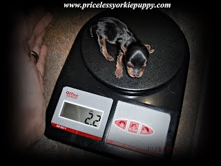yorkie weight chart, yorkie growth, growth chart, puppy adult weight, yorkie adult weight