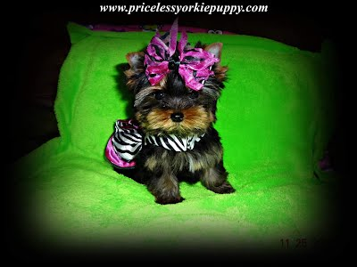 Teacup Yorkie Puppies, teacup puppies, teacup yorkies,  teacup yorkie, teacup, teacup puppies, teacup for sale, teacup yorkies for sale, teacup yorkie fir sale, teacup yorkie puppies for sale, Michigan teacup puppies, teacup yorkie breeder, teacup puppies, teacup puppy, t-cup, minature yorkie, miniature yorkies