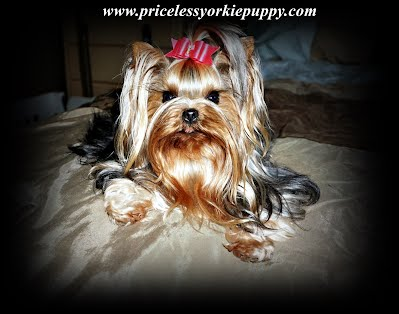 Micro Teacup Yorkie Puppy for sale