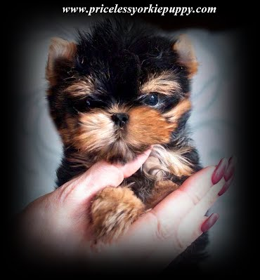 """Michigan, Yorkie, Puppy, breeder, yorkie breeder, teacup yorkie puppy, teacup yorkies, akc yorkie pup, akc, teacup, yorkie pup,  yorkies, yorkie puppies, yorkshire terrier, yorkshire terriers,  yorkie puppies for sale, teacup yorkie puppies, yorkie-breeders, Michigan, MI, yorkie, yorkies, Yorkshire terriers, Yorkshire terrier, yorkie puppy, yorkie puppies, yorkie breeder, yorkie breeders, yorkies for sale, yorkie for sale, Yorkshire terriers for sale, Yorkshire terrier for sale, yorkie puppies for sale, yorkie puppy for sale, Yorkshire terrier puppy for sale, Yorkshire terrier puppies for sale, Yorkshire Terrier Breeders, Yorkshire Terrier Puppies for Sale, Yorkshire Terrier Puppies, Yorkshire Terrier puppies for sale, Yorkshire Terrier dogs for adoption and Yorkshire Terrier dog breeders, Yorkshire Terrier puppies for sale and dogs for adoption, Yorkie Puppies Sale, Teacup Yorkies, Yorkies For Sale, Puppies For sale, AKC Yorkshire Terrier Puppies for sale, AKC Teacup Yorkie, yorkie breeder, Yorkshire Breeder, Yorkshire Terrier Dog Breeders, Teacup Yorkie Puppies, Yorkshire Terrier For Sale in Jackson, Michigan, Michigan Breeder, Michigan Tiny Yorkies is your place to find the most amazing Yorkies for sale, Tea Cup Yorkies for sale, and Tiny Yorkies for sale, Yorkie pups, Yorkie pup, yorkies for sale, baby doll face yorkie puppies, yorkie  breeder, teacup yorkie puppies for sale, yorkys, US, akc  Yorkies, teacups, t-cups, toys, petite, MI ,champion bloodline, baby doll face, teacup Yorkie puppy for sale, Teacup yorkie puppies, yorkie puppy for sale  and teacup yorkie puppies for sale, Teacup Yorkies, yorkies for sale MI, Yorkshire Terrier Puppies, Beautiful Teacup puppies, Babydoll face Yorkies, Applehead puppies, Yorkie short cobby bodies, baby doll faced, babydoll faced, babydoll puppies, Tanisha Breton Yorkie Breeder, """"Tanisha Breton"""" , """"517-796-0259"""",Teacup Yorkie Puppies, Teacup Yorkie Puppies for Sale, Yorkshire Terrier Puppies, Yorkshire Terrier Puppies for S"""