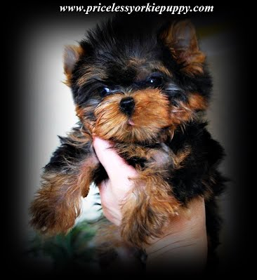 yorkie puppies, yorkshire terrier puppy, sale, teacup yorkies, yorkshire terrier,  yorkies, puppies, teacup, yorkie, Tea Cup Yorkies for sale, and Tiny Yorkies for sale, Yorkie pups, Yorkie pup, yorkies for sale, baby doll face yorkie puppies, yorkie  breeder, teacup yorkie puppies for sale, yorkys, US, akc  Yorkies, teacups, t-cups, toys, petite, MI ,champion bloodline, baby doll face, teacup Yorkie puppy for sale, Teacup yorkie puppies, yorkie puppy for sale  and teacup yorkie puppies for sale, Teacup Yorkies, yorkies for sale MI, Yorkshire Terrier Puppies, Beautiful Teacup puppies, Babydoll face Yorkies, Applehead puppies, Yorkie short cobby bodies, baby doll faced, babydoll faced, babydoll puppies