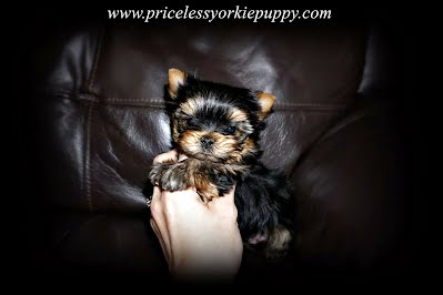 yorkie puppy for sale , yorkie breeder, Michigan yorkies, Michigan Yorkie, Michigan Yorkshire terrier, Michigan Yorkies, Michigan puppy, Michigan Puppies, yorkie puppies, yorkie terrier, reputable yorkie breeders in michigan, reputable yorkie breeders in michigan, reputable yorkie breeders in michigan, yorkies for sale Michigan, Yorkies for sale, Yorkies Michigan, dog, dogs, dogs for sale