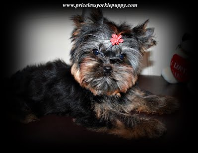 tiny teacup yorkie puppies for sale in Michigan, Yorkshire terrier for sale in Michigan, little yorkie, yorkie breeders Michigan, Yorkie breeder MI, Yorkies for sale MI, Yorkshire terrier for sale MI, Yorkie MI, Yorkies MI, Yorkshire MI, Puppies MI, Puppy's MI, Puppy MI, Yorkie terrier, babydoll yorkies, babydoll yorkie, baby doll face yorkies, yorkie breeder, baby yorkies, yorkies puppies, yorkie teacup puppies for sale, yorkie dogs, yorkie dog, Yorkshire puppies, yorkie puppies Michigan, Yorkie puppies Jackson Michigan, sale dog, sale yorkie, dogs sale, dog for sale, dogs for sale, toy puppies, toy breeder puppies, small breed puppies, toy breed puppies, teddy bear puppies