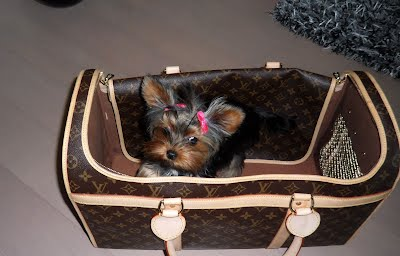 "Tanisha Breton Yorkie Breeder, ""Tanisha Breton"" , ""517-796-0259"", ""Yorkshire terrier mi"", ""tanisha"", ""pricelessyorkiepuppy.com"", ""jackson"", ""Michigan yorkie breeder"", ""Michigan yorkie meetup"", ""www.pricelessyorkiepuppy.com"", ""Tanisha Trine"", ""Tanisha Trine yorkies"", ""Tanisha yorkies"", ""Tanisha Breton yorkie"", ""Tanisha Breton yorkies"", ""Tanisha Breton yorkies"", ""Tanisha Breton breeder"", ""Tanisha Breton yorkies"", ""Tanisha Breton yorkies puppies"", ""Tanisha Breton yorkie puppy"", ""Tanisha Breton Jackson, Michigan"", Priceless Yorkie Puppy, Teacup Yorkie Puppies, Teacup Yorkie Puppies for Sale, Yorkshire Terrier Puppies, Yorkshire Terrier Puppies for Sale, yorkie, yorkies, yorkie puppies for sale, yorkie puppies, yorkie puppy, yorkie breeder, yorkie breeders, Tanisha Breton, Michigan Yorkie Michigan Yorkie Breeder tanisha breton, tanishabreton, 517-796-0259, 517-945-3291, Michigan Yorkies Tanisha Breton, Yorkshire Terrier For Sale in Michigan, Yorkshire Terrier Dog Breeder Michigan, Yorkie, Dog, Yorkshire Terriers in Michigan, Teacup Yorkie Puppies, Yorkies Puppy Breeder, Michigan Yorkies, yorkie shipping, yorkie transport, Puppy Breeder MI, Yorkshire Terriers for Sale in Michigan, Yorkies for sale in Michigan, Yorkshire Terrier Puppies for Sale in Michigan, Yorkie Puppies for Sale, Yorkies For Sale‎, Teacup Yorkie Puppies, Yorkshire Terrier breeder located in Michigan, yorkie puppies, American Kennel Club, AKC, Yorkshire Terrier Dog Breeders, yorkie-breeders"