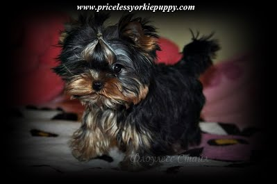 "Tanisha Breton Yorkie Breeder, ""Tanisha Breton"" , ""517-796-0259"", ""Yorkshire terrier mi"", ""tanisha"", ""pricelessyorkiepuppy.com"", ""jackson"", ""Michigan yorkie breeder"", ""Michigan yorkie meetup"", ""www.pricelessyorkiepuppy.com"", ""Tanisha Trine"", ""Tanisha Trine yorkies"", ""Tanisha yorkies"", ""Tanisha Breton yorkie"", ""Tanisha Breton yorkies"", ""Tanisha Breton yorkies"", ""Tanisha Breton breeder"", ""Tanisha Breton yorkies"", ""Tanisha Breton yorkies puppies"", ""Tanisha Breton yorkie puppy"", ""Tanisha Breton Jackson, Michigan"", Priceless Yorkie Puppy, Teacup Yorkie Puppies, Teacup Yorkie Puppies for Sale, Yorkshire Terrier Puppies, Yorkshire Terrier Puppies for Sale, yorkie, yorkies, yorkie puppies for sale, yorkie puppies, yorkie puppy, yorkie breeder, yorkie breeders, Tanisha Breton, Michigan Yorkie Michigan Yorkie Breeder tanisha breton, tanishabreton, 517-796-0259, 517-945-3291, Michigan Yorkies Tanisha Breton, Yorkshire Terrier For Sale in Michigan, Yorkshire Terrier Dog Breeder Michigan, Yorkie, Dog, Yorkshire Terriers in Michigan, Teacup Yorkie Puppies, Yorkies Puppy Breeder, Michigan Yorkies, yorkie shipping, yorkie transport, Puppy Breeder MI, Yorkshire Terriers for Sale in Michigan, Yorkies for sale in Michigan, Yorkshire Terrier Puppies for Sale in Michigan, Yorkie Puppies for Sale, Yorkies For Sale‎, Teacup Yorkie Puppies, Yorkshire Terrier breeder located in Michigan, yorkie puppies, American Kennel Club, AKC, Yorkshire Terrier Dog Breeders, yorkie-breeders, Tea Cup Yorkies for sale, and Tiny Yorkies for sale, Yorkie pups, Yorkie pup, yorkies for sale, baby doll face yorkie puppies, yorkie  breeder, teacup yorkie puppies for sale, yorkys, US, akc  Yorkies, teacups, t-cups, toys, petite, MI ,champion bloodline, baby doll face, teacup Yorkie puppy for sale, Teacup yorkie puppies, yorkie puppy for sale  and teacup yorkie puppies for sale, Teacup Yorkies, yorkies for sale MI, Yorkshire Terrier Puppies, Beautiful Teacup puppies, Babydoll face Yorkies, Applehead puppies, Yorkie short cobby bodies, baby doll faced, babydoll faced, babydoll puppies, Yorkshire Terrier Breeders, Yorkshire Terrier Puppies for Sale, Yorkshire Terrier Puppies, Yorkshire Terrier puppies for sale, Yorkshire Terrier dogs for adoption and Yorkshire Terrier dog breeders, Yorkshire Terrier puppies for sale and dogs for adoption, Yorkie Puppies Sale, Teacup Yorkies, Yorkies For Sale, Puppies For sale, AKC Yorkshire Terrier Puppies for sale, AKC Teacup Yorkie, yorkie breeder, Yorkshire Breeder, Yorkshire Terrier Dog Breeders, Teacup Yorkie Puppies, Yorkshire Terrier For Sale in Jackson, Michigan, Michigan Breeder, Michigan Tiny Yorkies is your place to find the most amazing Yorkies for sale, Michigan yorkie, Michigan yorkies, Michigan yorkshire terriers, Michigan yorkshire terrier, Michigan yorkie puppy, Michigan yorkie puppies, Michigan yorkie breeder, Michigan yorkie breeders, Michigan yorkies for sale, Michigan yorkie for sale, Michigan yorkshire terriers for sale, Michigan yorkshire terrier for sale, Michigan yorkie puppies for sale, Michigan yorkie puppy for sale, Michigan yorkshire terrier puppy for sale, Michigan yorkshire terrier puppies for sale, Yorkie Puppies For Sale, Yorkshire Terriers in Michigan, Teacup Yorkie Puppies, Yorkies Puppy Breeder, Michigan Yorkies, Puppy Breeder MI, Yorkshire Terriers for Sale in Michigan, Yorkies for sale in Michigan, Yorkshire Terrier Puppies for Sale in Michigan, Yorkie Puppies for Sale, Yorkies For Sale‎, Teacup Yorkie Puppies, Yorkshire Terrier breeder located in Michigan, yorkie puppies, American Kennel Club, AKC, Yorkshire Terrier Dog Breeders, yorkie-breeders, Michigan, MI, yorkie, yorkies, Yorkshire terriers, Yorkshire terrier, yorkie puppy, yorkie puppies, yorkie breeder, yorkie breeders, yorkies for sale, yorkie for sale, Yorkshire terriers for sale, Yorkshire terrier for sale, yorkie puppies for sale, yorkie puppy for sale, Yorkshire terrier puppy for sale, Yorkshire terrier puppies for sale,"