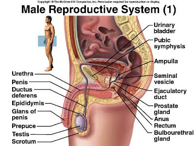 Human Reproductive Organ Inspiration Photo Gallery On Website With