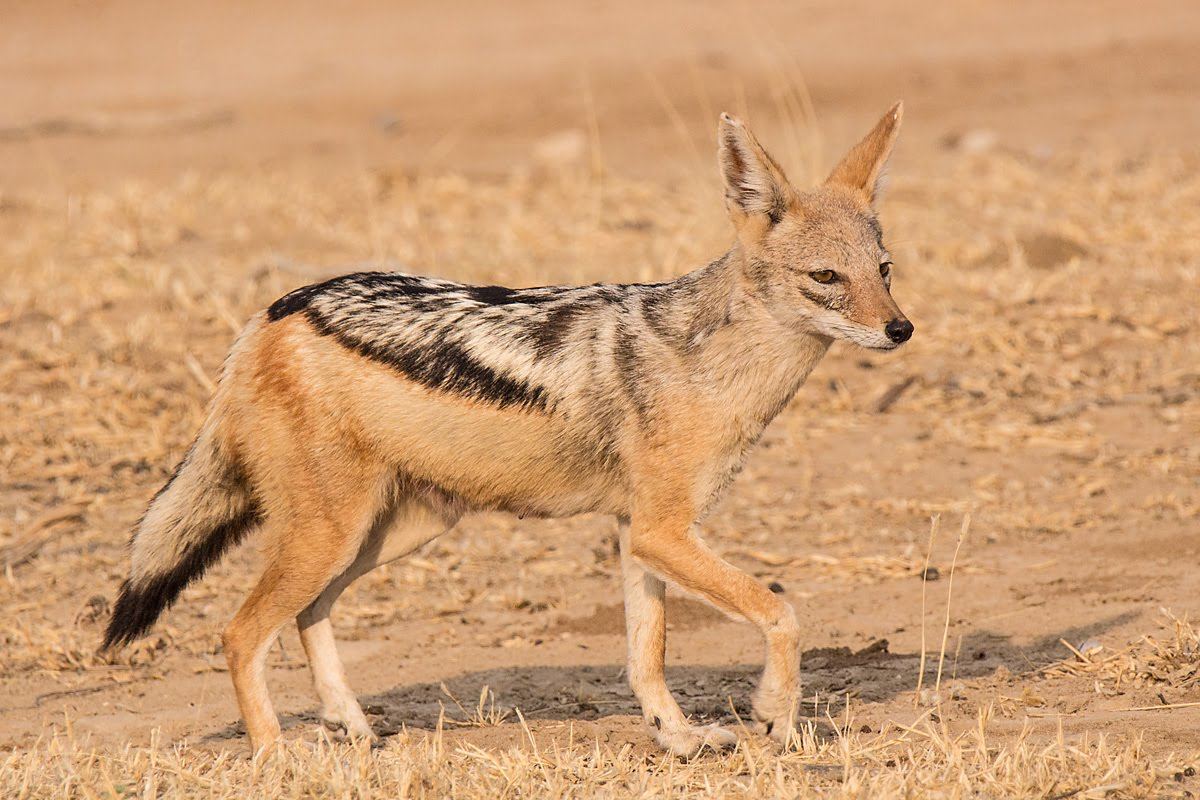 Jackal:Black-backed - ... Meerkat Pictures To Print