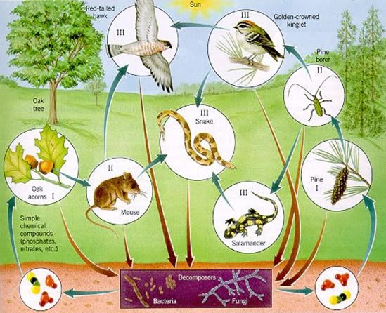 Food Chains and Food Webs - Rainforest Life