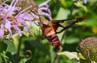 Hummingbird Moth MOMBA Trails Five Rivers MetroParks