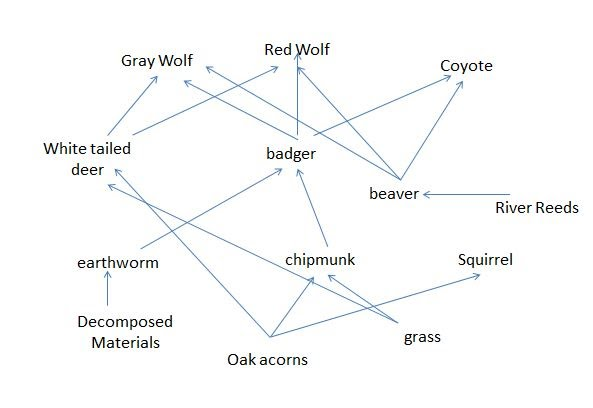 Red Wolf Food Chain Diagram Diy Enthusiasts Wiring Diagrams