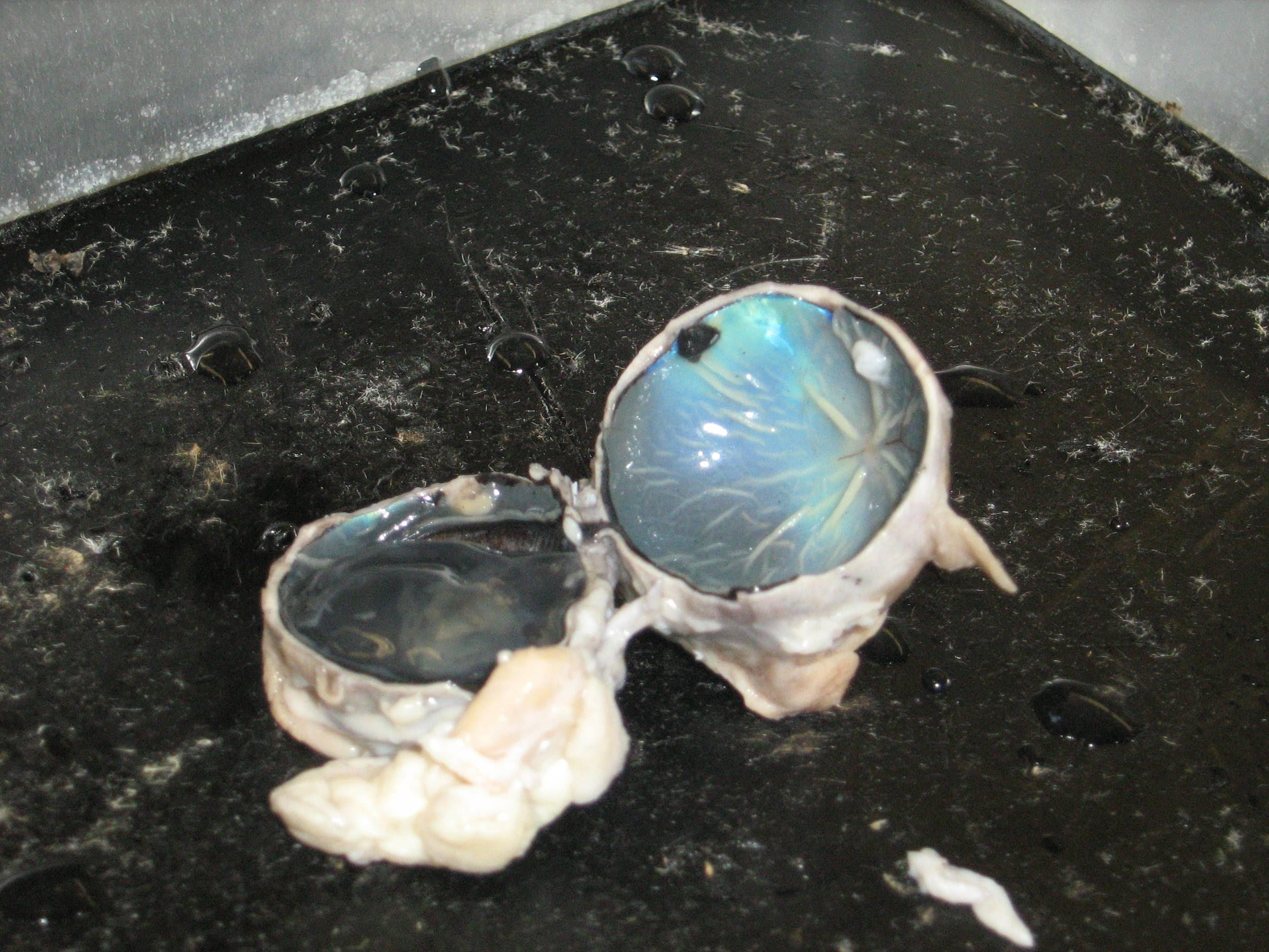 eyeballdissection - redwoods81