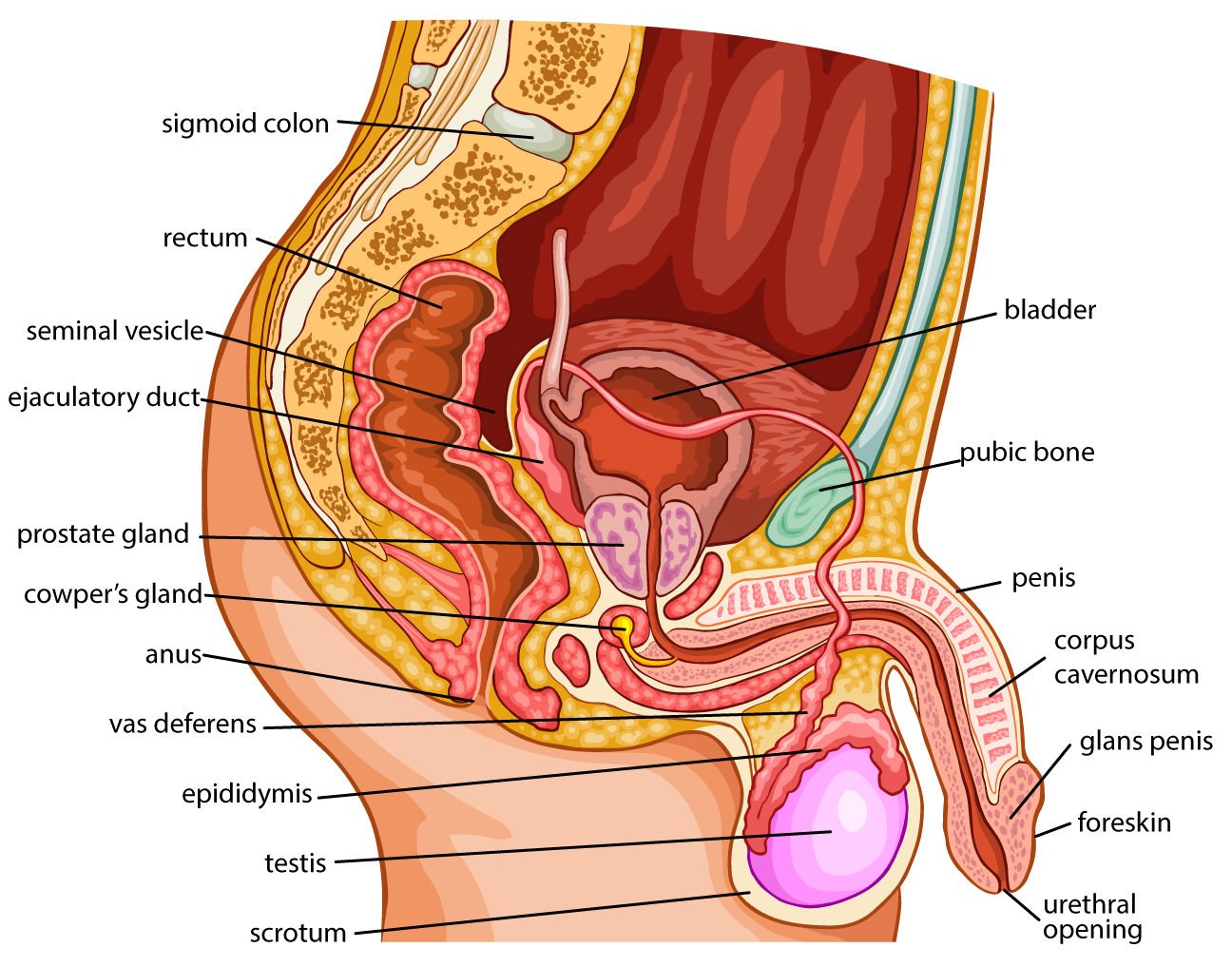 prostate male reproductive system