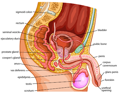 Male Reproductive System Reproductive System Facts