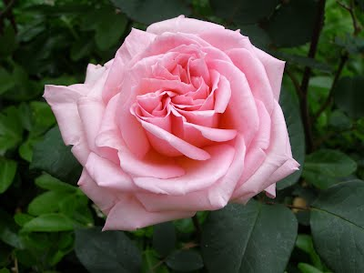 https://sites.google.com/site/roseheartreiki/home/Pink%20Rose%20high%20colour.JPG