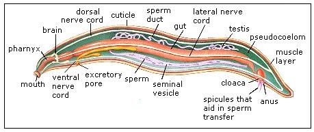 twohig science shriwardhankarv : platyhelminthes diagram - findchart.co