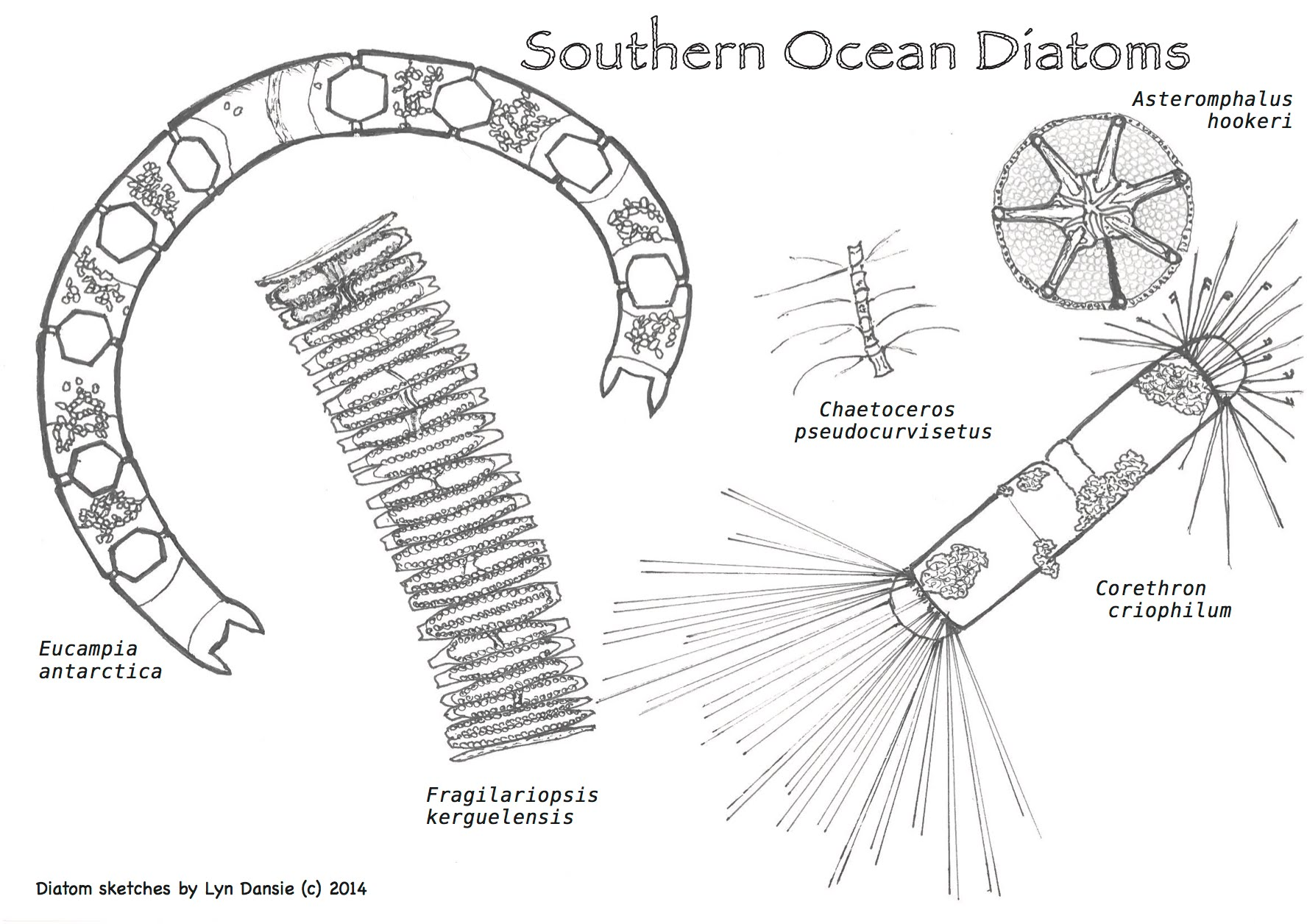want to try a diatom colour-in?