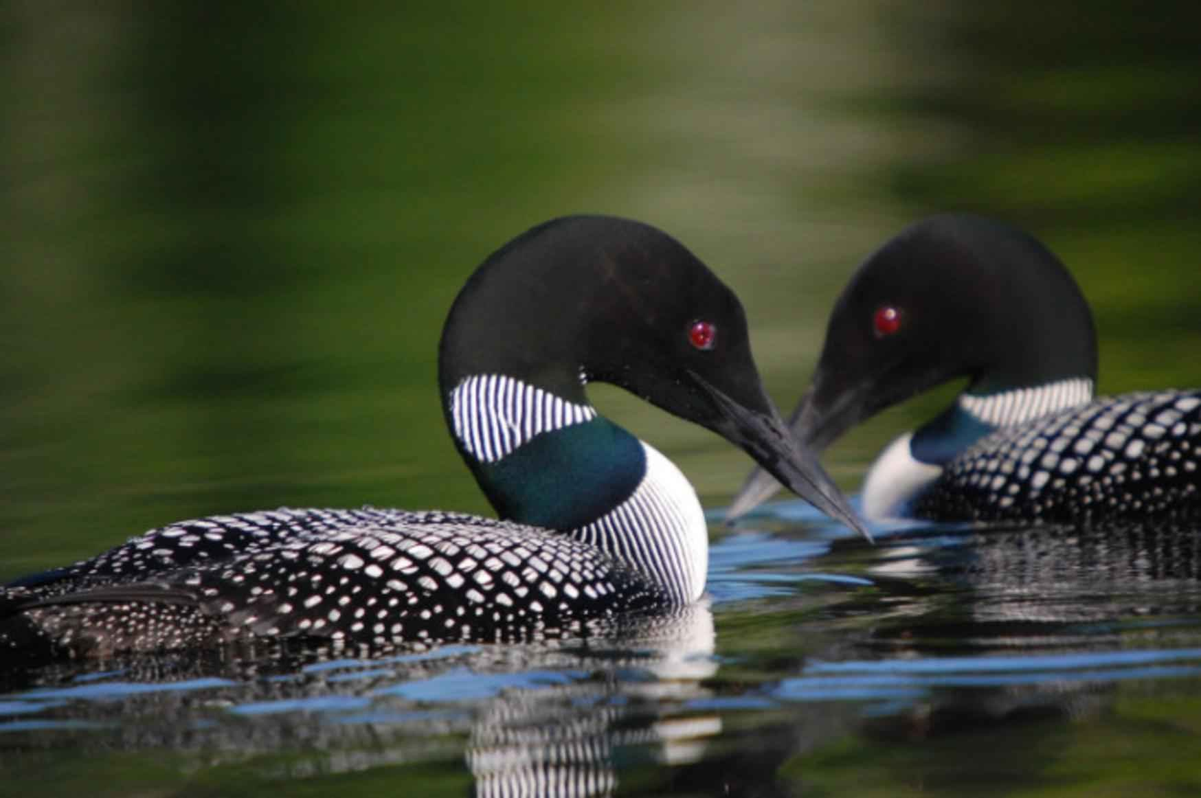 Common Loons, Common Loon Pictures, Common Loon Facts - National ...