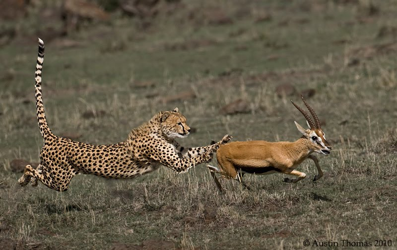 lion and antelope relationship