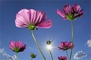 گل ها ایران