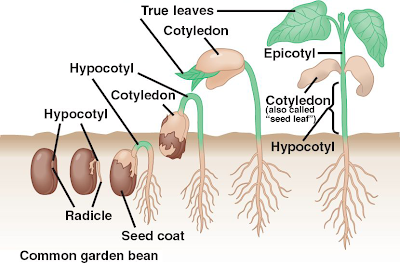 4 Germination Sexual Reproduction In Plants